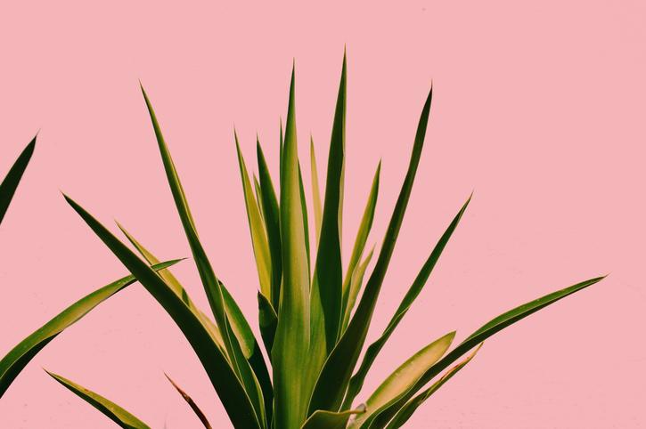 L'aloe vera ou la plante à inclure dans votre routine beauté